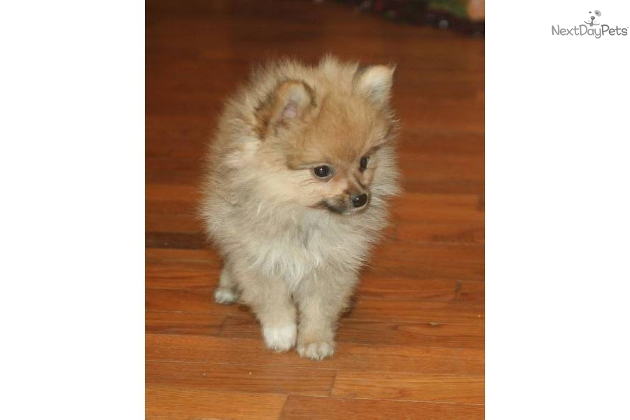 orange pomeranian puppy orange sable pomeranian 5255