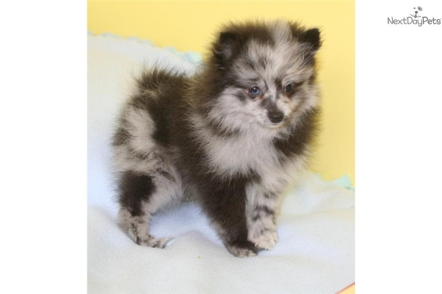blue merle pomeranian puppies for sale pomeranian puppy for sale near grand island nebraska 9373