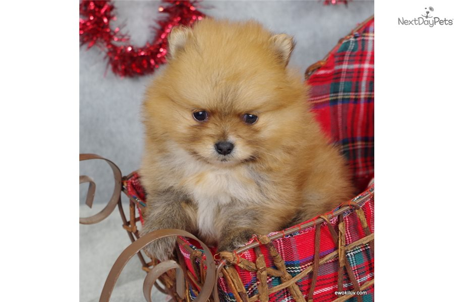 Foxie Pomeranian Puppy For Sale Near Grand Island Nebraska