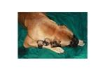 Picture of a Bullmastiff Puppy