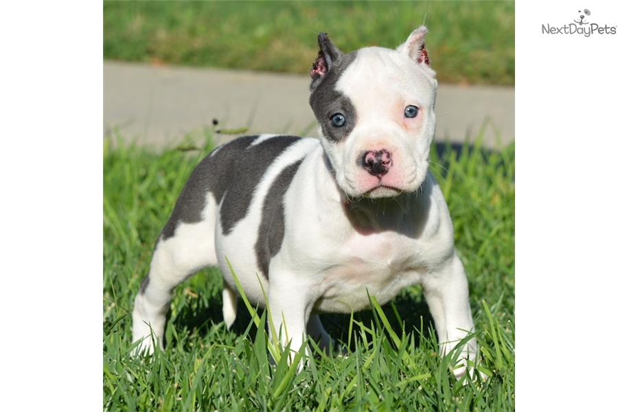 bull terrier puppies for sale near me american pit bull terrier puppy for sale near los angeles 5506