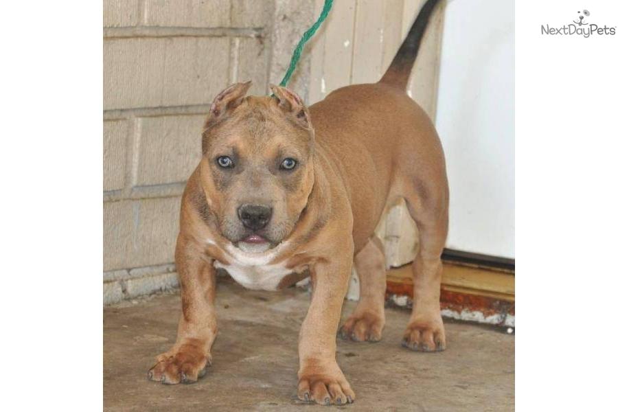 Meet HERCULES a cute American Pit Bull Terrier puppy for ...