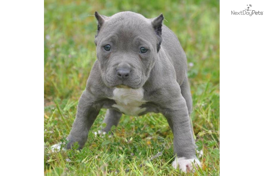 Bully Pitbull Puppies For Sale In Houston Tx Driverlayer Search Engine