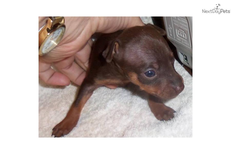 Miniature Pinscher Puppy For Sale Near Eastern Co