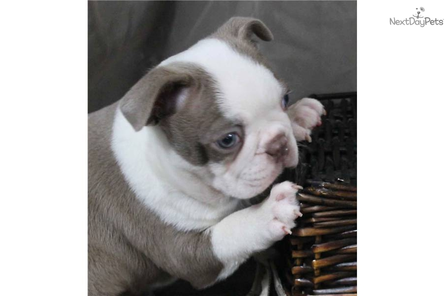 blue boston terrier puppies boston terrier puppy for sale near altoona johnstown 1294