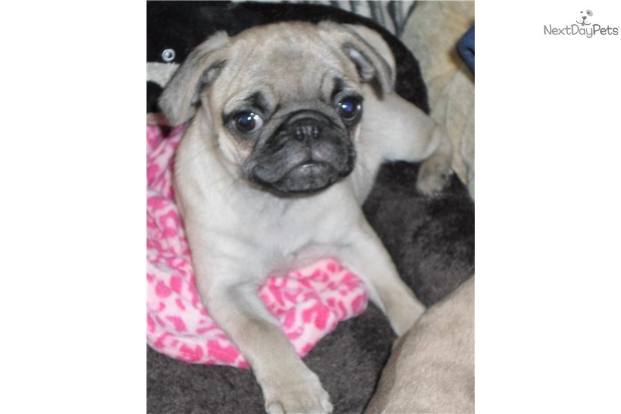 pug for sale seattle cute girl pug puppy for sale near seattle tacoma 4496