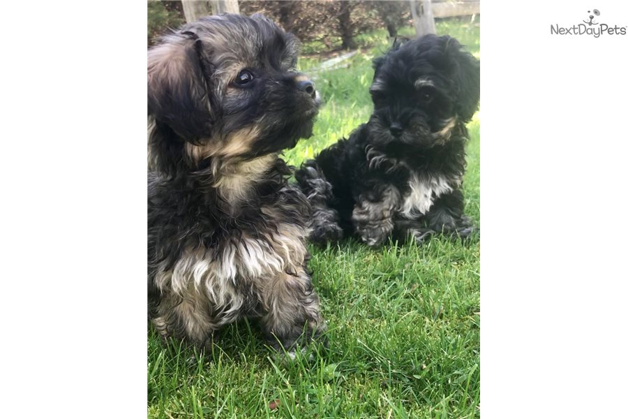 Jelly Bean : Havanese puppy for sale near Long Island, New