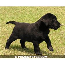 View full profile for Prize My Eyes Labrador Retrievers