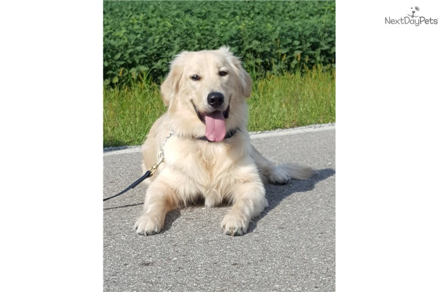 Skipper Golden Retriever Puppy For Sale Near Cincinnati Ohio