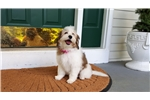 Picture of LOWCHEN - HAVANESE red and white at Cupids Lowchen