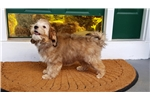 Picture of Red LOWCHEN - HAVANESE now Cupids Lowchen