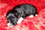 Picture of LOWCHEN PUPPY FEMALE