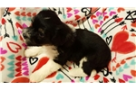 Picture of Lowchen puppies available at Cupids Lowchen