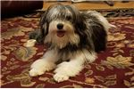Picture of a Lowchen Puppy
