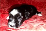 Picture of LOWCHEN PUPPY