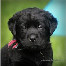 View full profile for Moonlit Labradors
