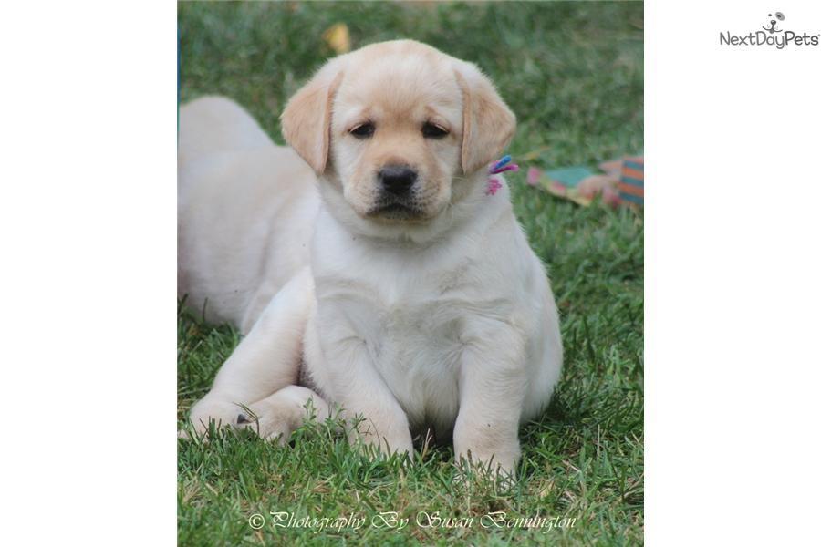 Labrador Puppies: Yellow Labrador Retriever puppy for sale near me in New York USA