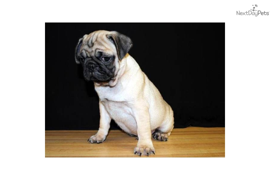 akc pug puppies for sale pug puppy for sale near southeast missouri missouri 6474