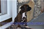 Picture of AKC Boxer Brindle Female