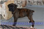AKC Boxer Brindle Female