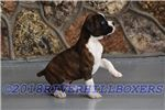 Picture of AKC Boxer Flashy Brindle Male