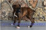 Picture of AKC Boxer Brindle Male
