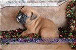 Picture of AKC Boxer Flashy Fawn Female