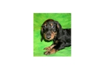 Picture of a Wire Dachshund Puppy