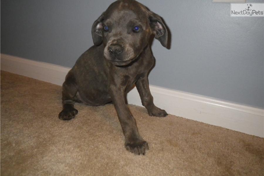 Stan: Cane Corso Mastiff puppy for sale near Rochester, New