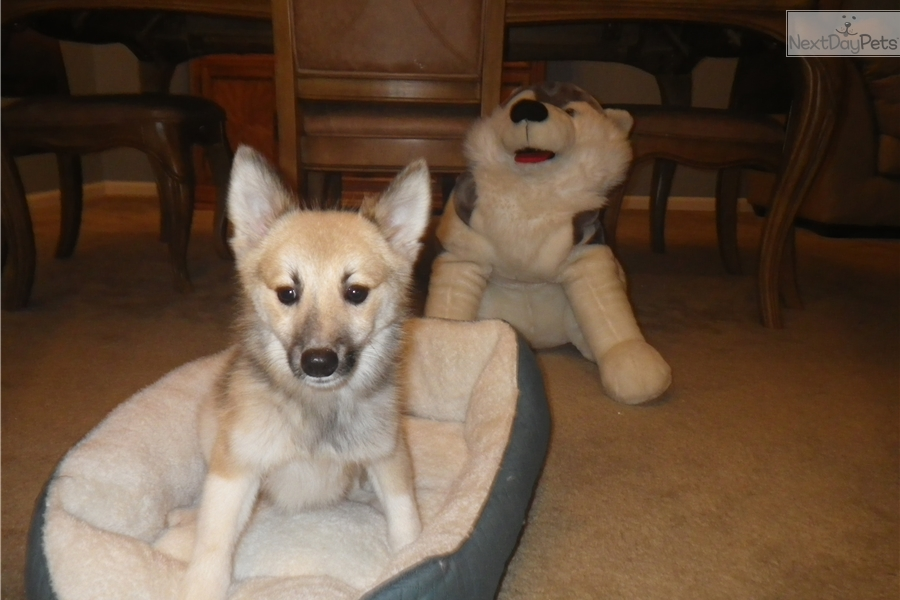 Fox: Pomsky puppy for sale near Rochester, New York