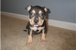 Picture of an American Bully Puppy