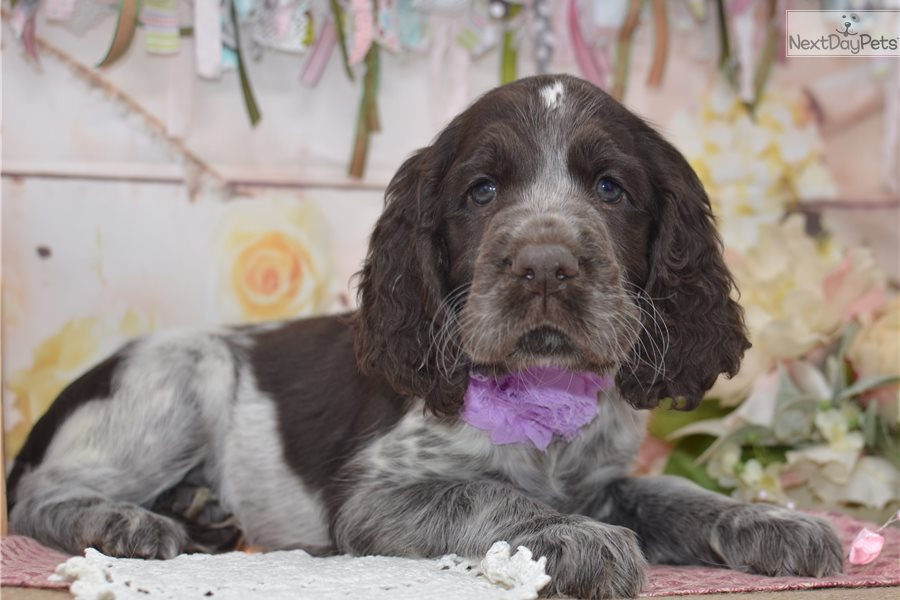Ellie Mae English Springer Spaniel Puppy For Sale Near Youngstown Ohio 76d9e70b 77e1