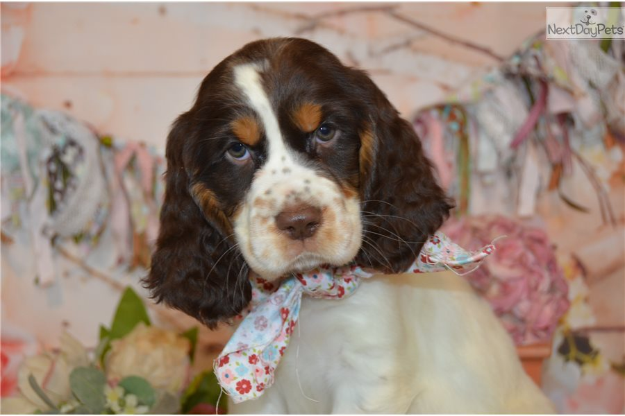 Jade: English Springer Spaniel puppy for sale near Youngstown, Ohio