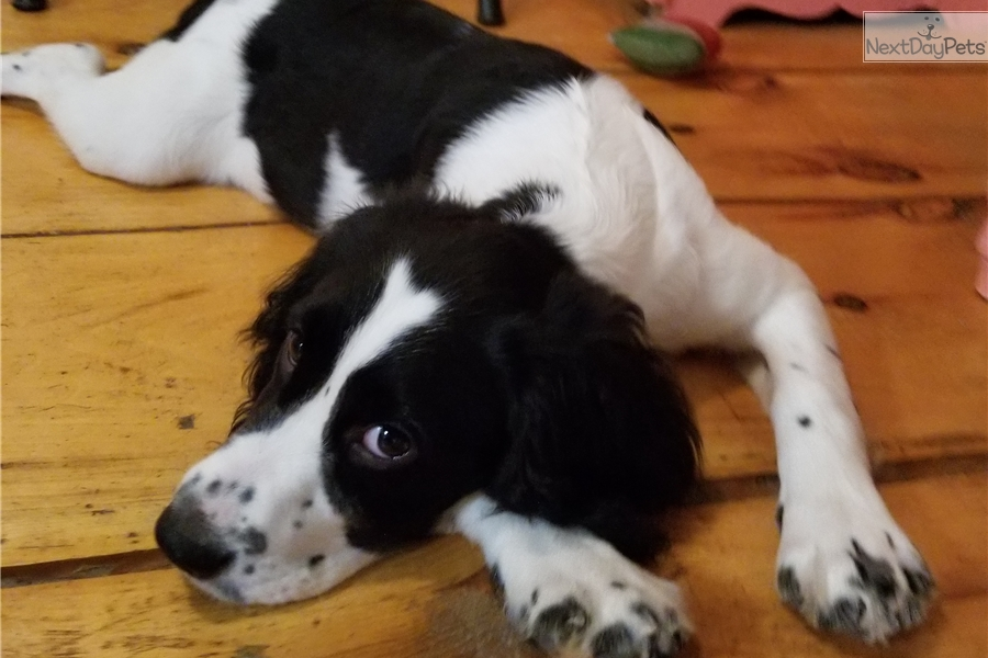 English Springer Spaniel puppy for sale near Youngstown, Ohio