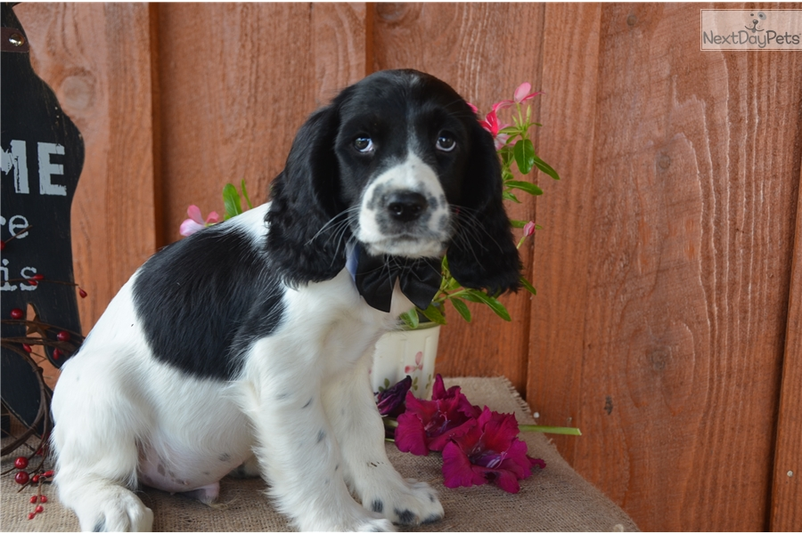Mason English Springer Spaniel Puppy For Sale Near Youngstown Ohio 4a15211b C901