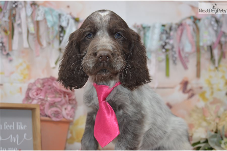 Eli: English Springer Spaniel puppy for sale near Youngstown, Ohio