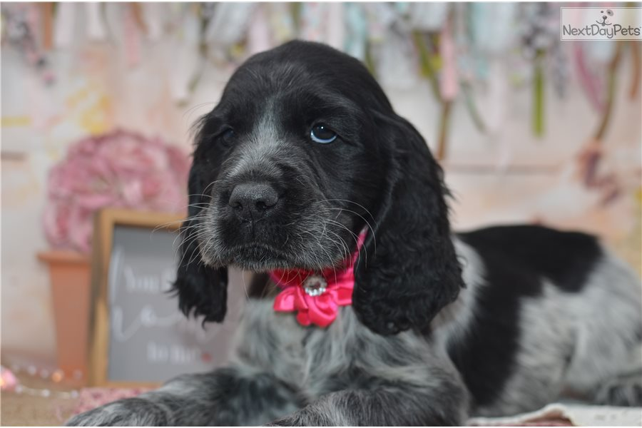 Cherry: English Springer Spaniel puppy for sale near Youngstown
