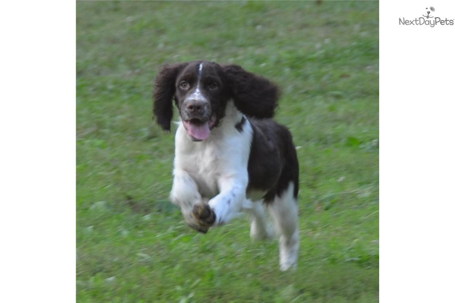 Springer Spaniel Working Dogs For Sale