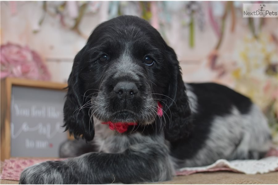 Cherry: English Springer Spaniel puppy for sale near