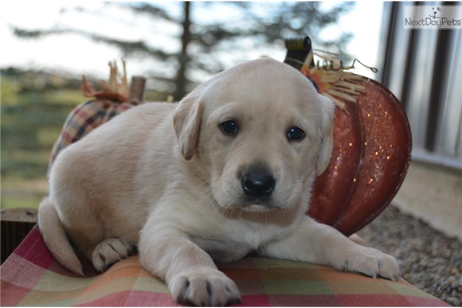 Jayjay Labrador Retriever Puppy For Sale Near Youngstown Ohio