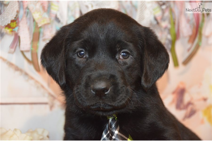 Labrador Retriever Puppy For Sale Near Youngstown Ohio 9441cb92
