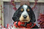 Picture of Rodger- Male Springer Puppy