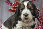 Picture of Sacoya- Female Springer Puppy