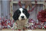 Picture of Bowen- Male Springer Puppy