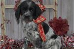 Picture of Cherry- Female Springer Puppy