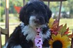 Picture of Tate, Male Portie Puppy