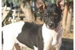 Featured Breeder of Rat Terriers with Puppies For Sale