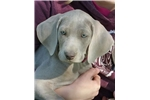 Weimaraner - Female, 5 yr health guarantee | Puppy at Available soon of age for sale