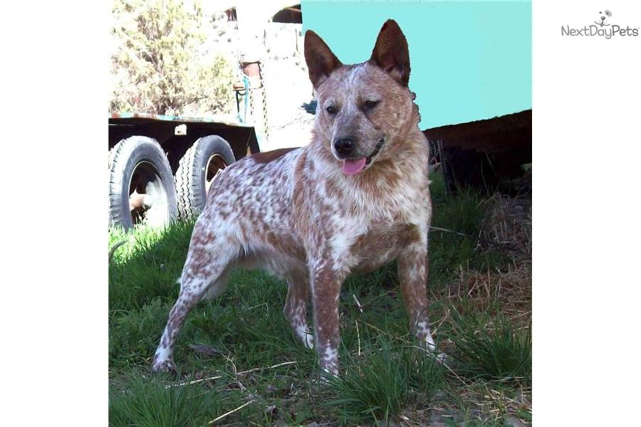 Australian Cattle Dog/Blue Heeler puppy for sale near Bend ...