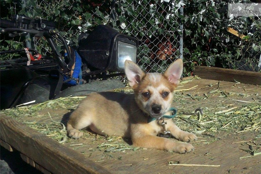 Dogs For Sale Bend Oregon